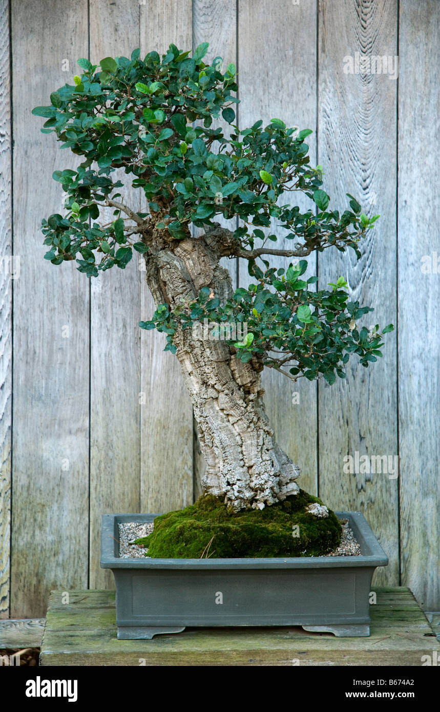 kork eiche quercus suber als bonsai gez chtet bei huntington botanical gardens santa monica. Black Bedroom Furniture Sets. Home Design Ideas