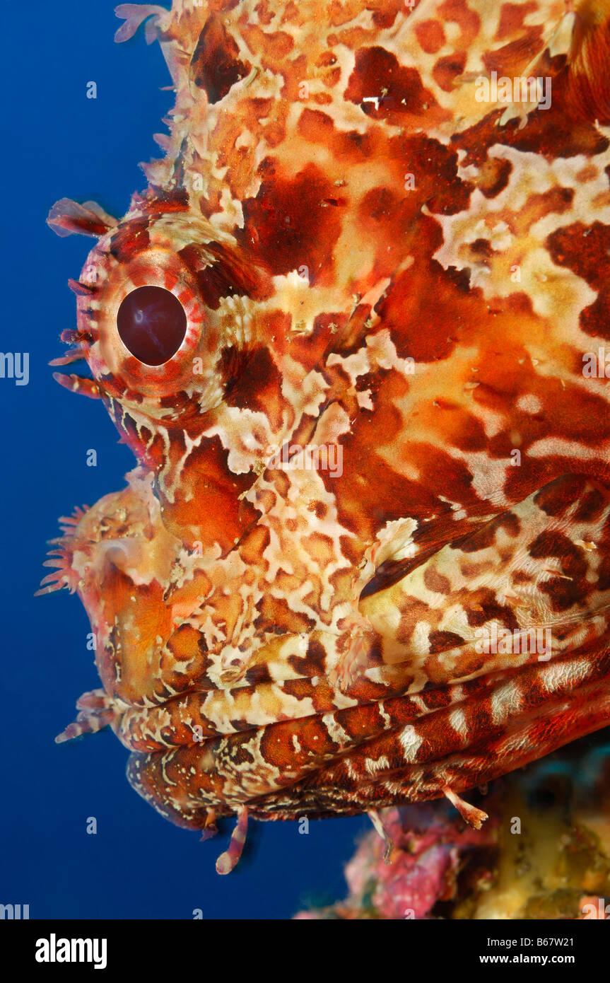 Große Drachenköpfe Scorpaena Scrofa Vis Insel Mittelmeer Kroatien Stockbild