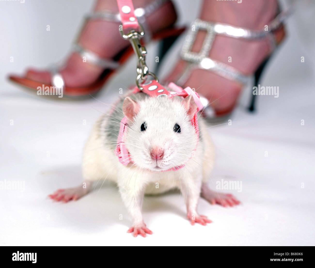 Posh Ratten Stockbild