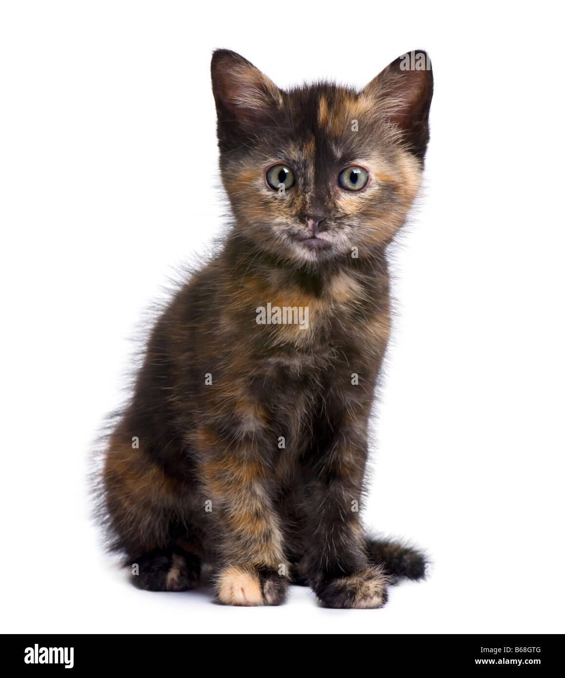 White Black Ginger Cat