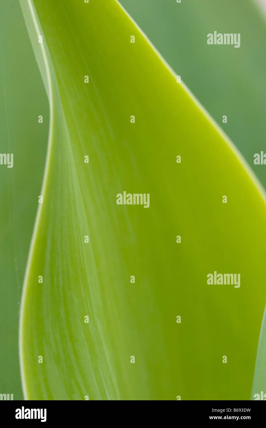 Grüne Blätter zeigt das Konzept der Lichtenergie in Zucker durch den Prozess der Photosynthese Stockbild