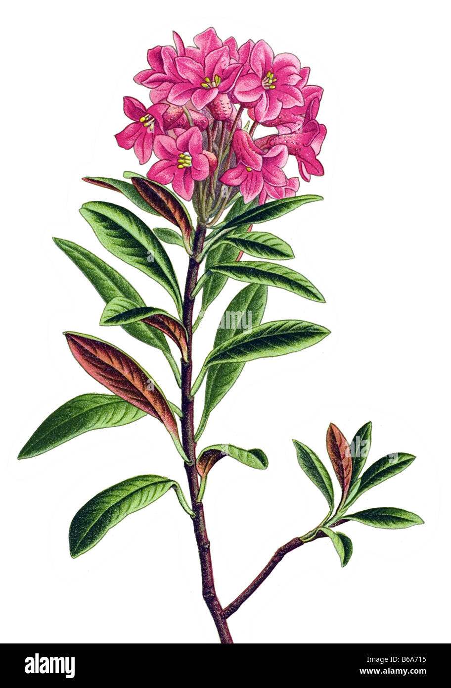rusty leaved alpenrose rhododendron ferrugineum giftige pflanzen illustrationen stockfoto bild. Black Bedroom Furniture Sets. Home Design Ideas