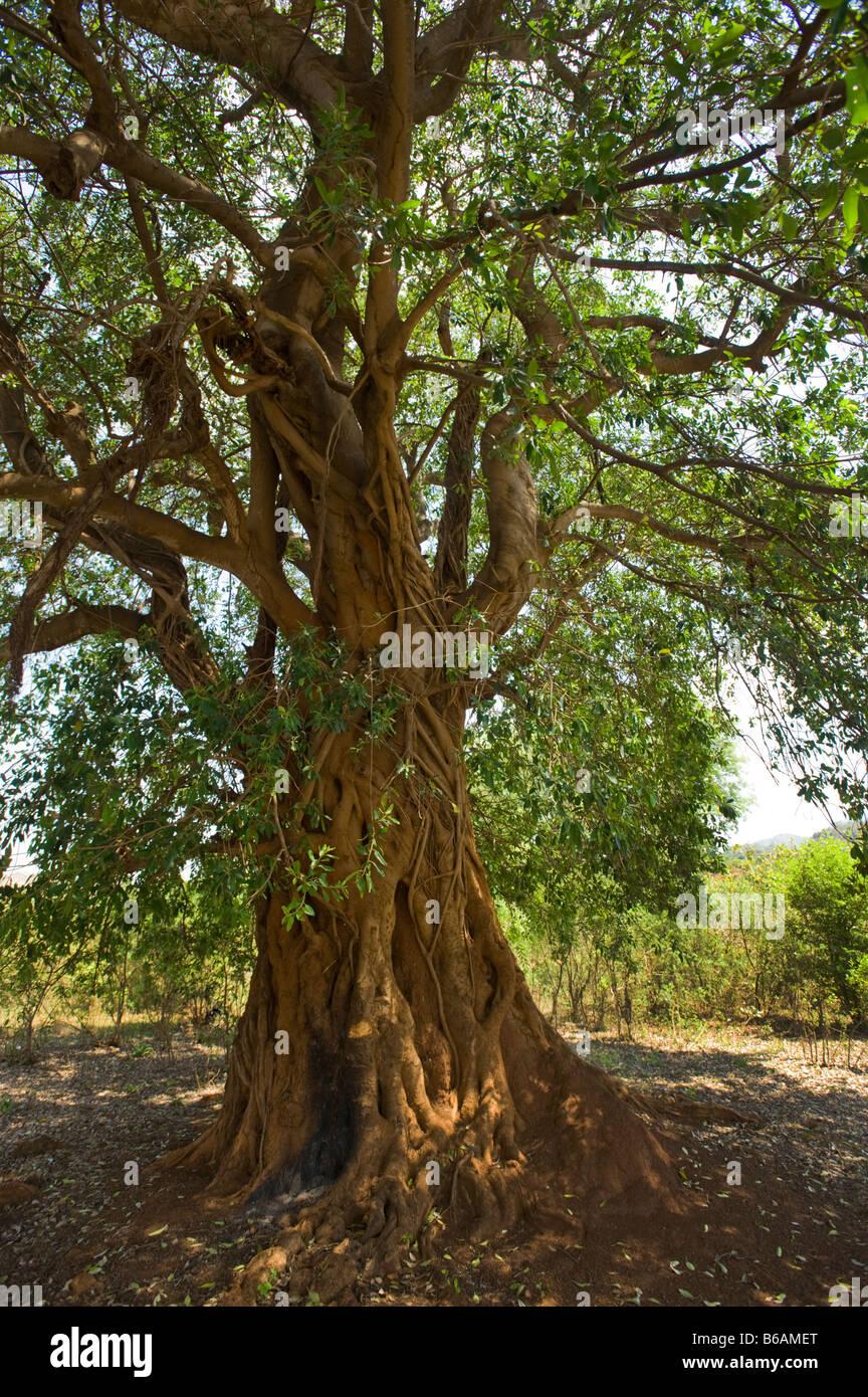 Mahagonibaum  Mahagoni-Baum Süd-Afrika Südafrika große alte hohe grüne Blätter ...