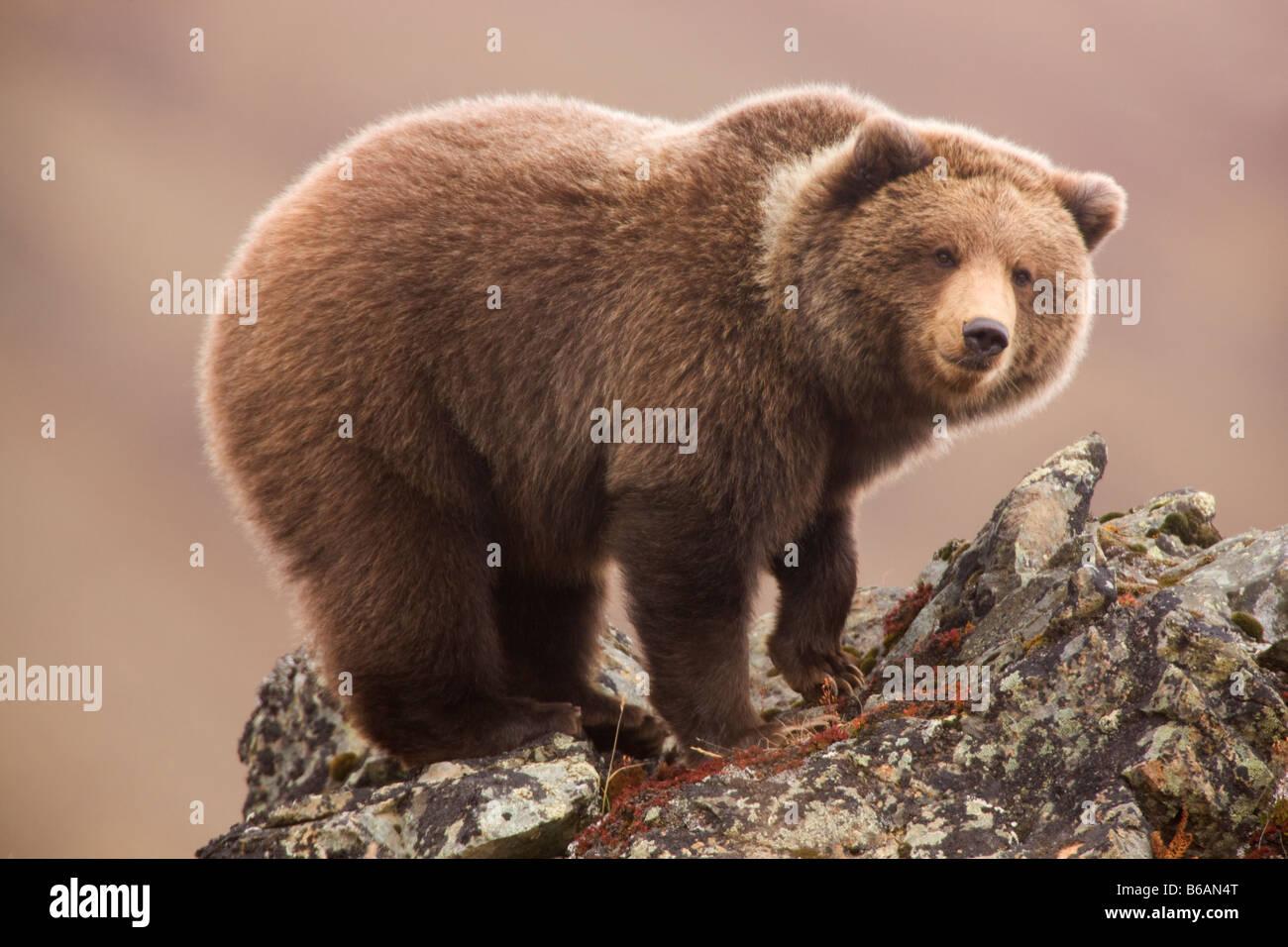 Auch genannt Grizzly Bear Brown Bear Denali Nationalpark, Alaska Stockbild