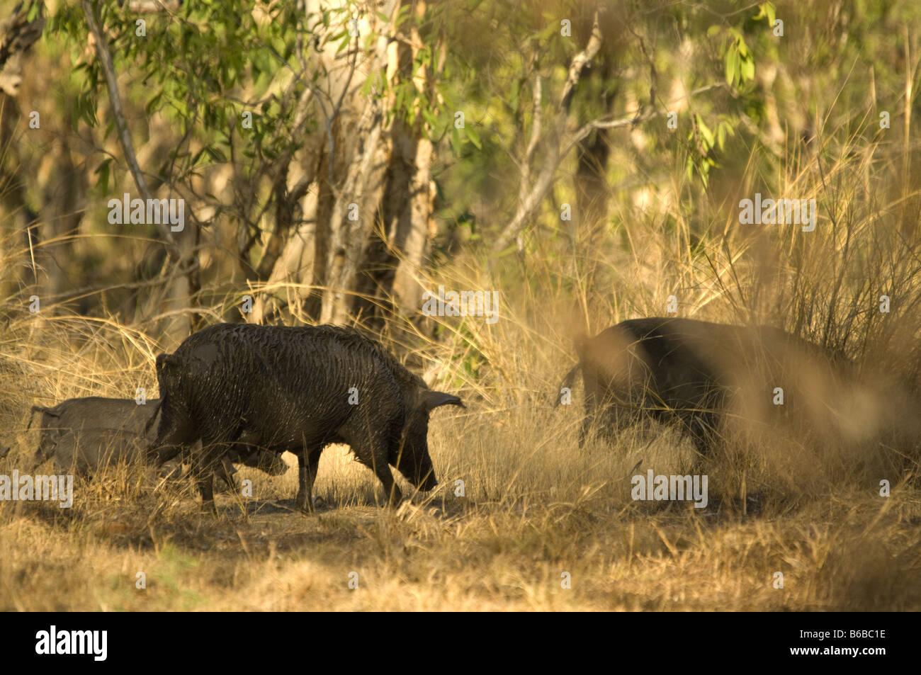 Das wilde Schwein (Sus Scrofa) mit jungen Fremdarten Anbangbang Kakadu National Park Northern Territory Australien Stockbild