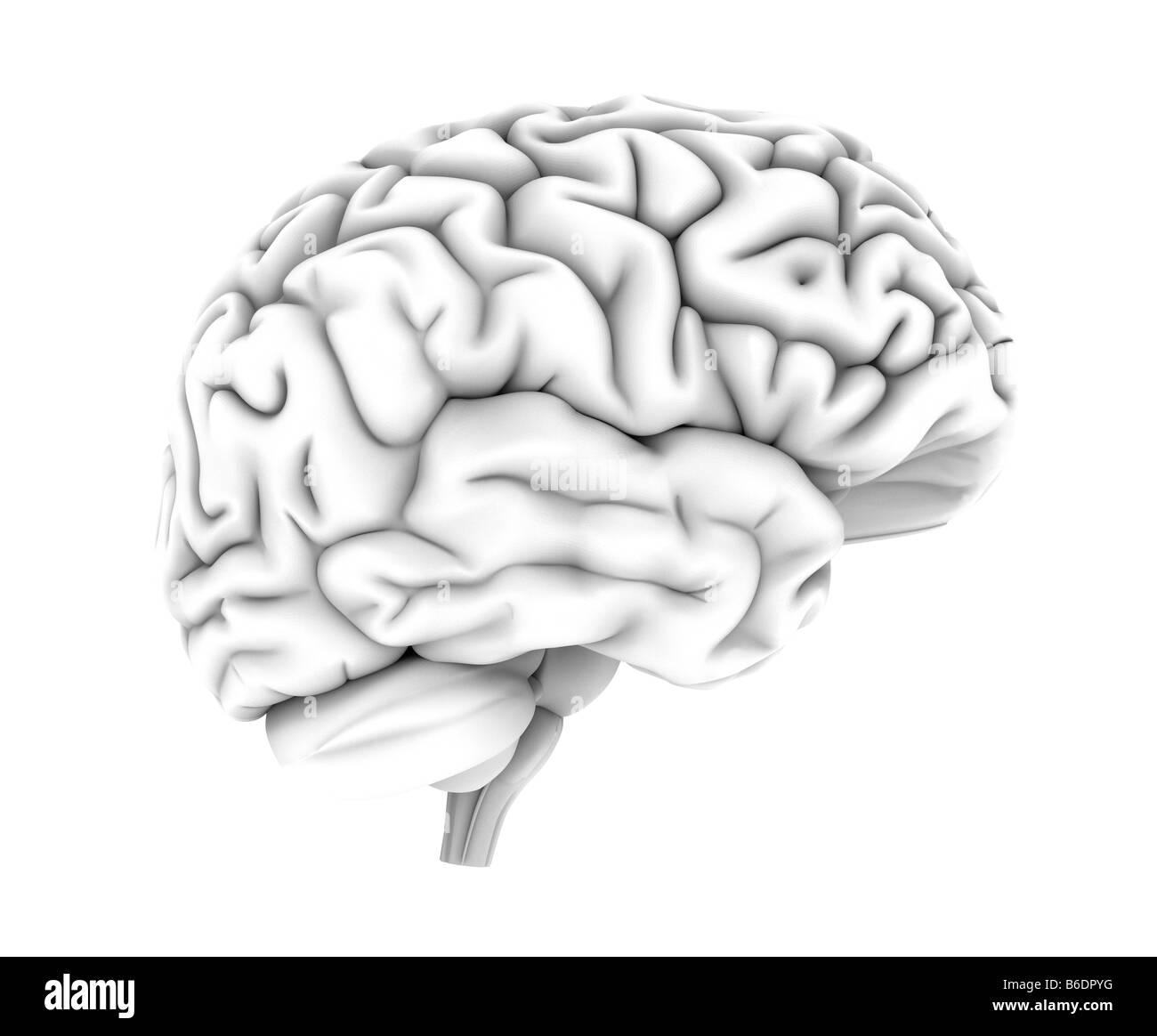 Menschliche Gehirn, Computer-Grafik. Die Front des Thebrain ist auf ...