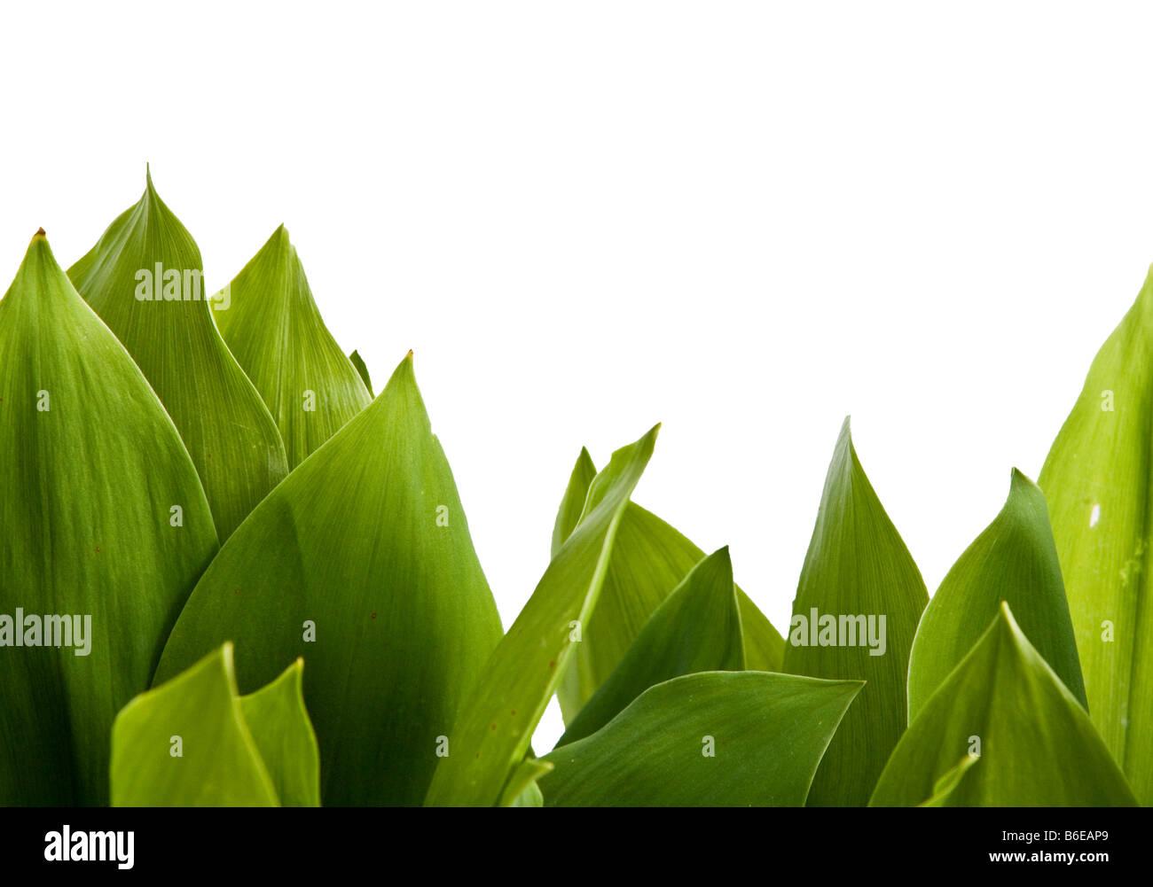 Grüne Blätter auf weißem Hintergrund Stockbild