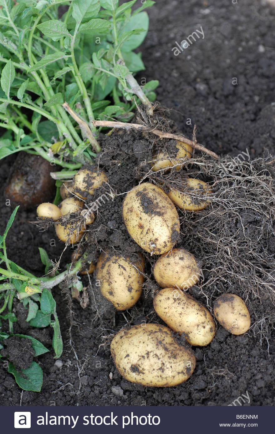 Vor kurzem nahm Kartoffeln Stockbild