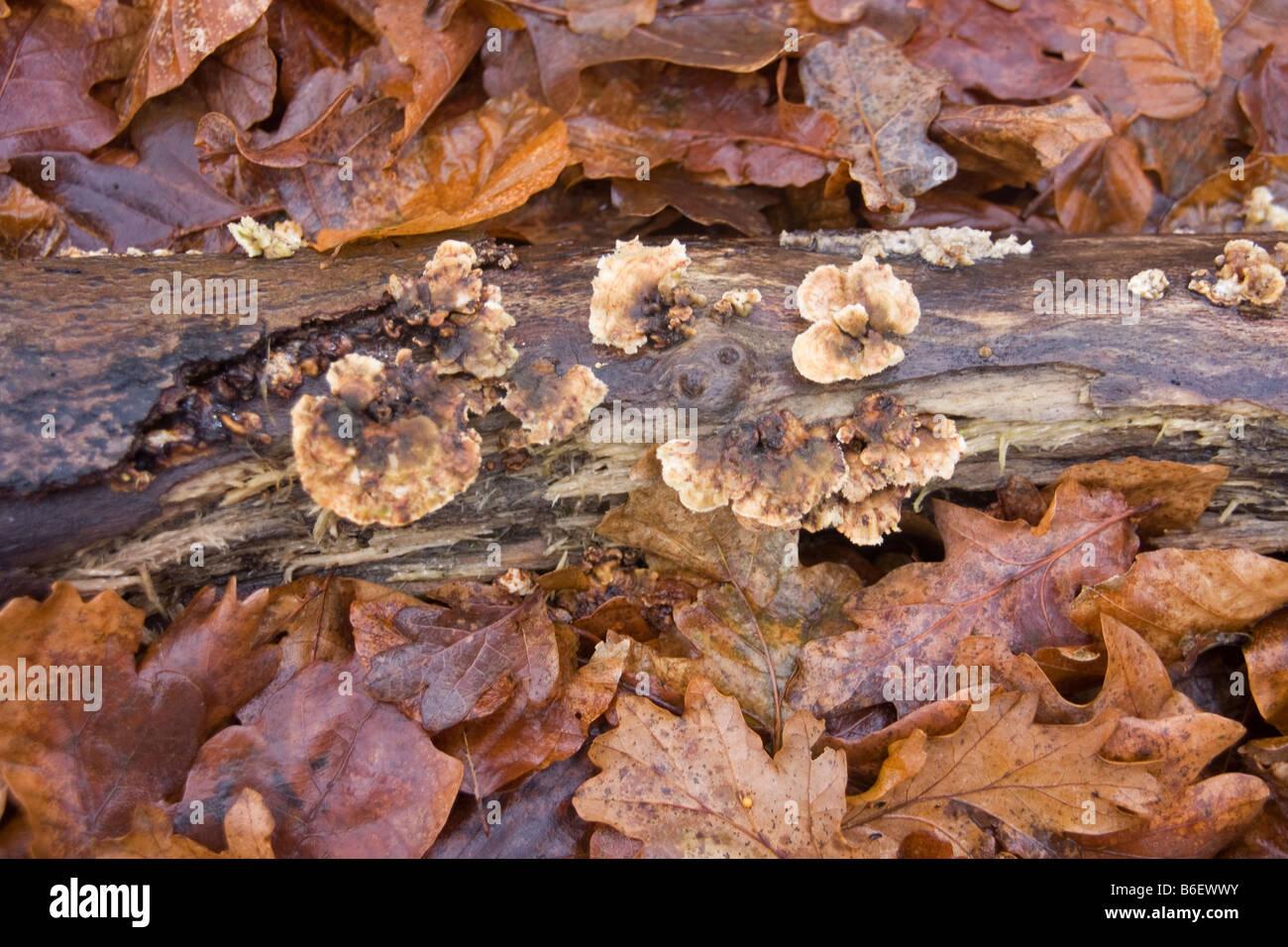 Gefallenen Baumstamm im Bett aus Blättern, pilzartiges ...