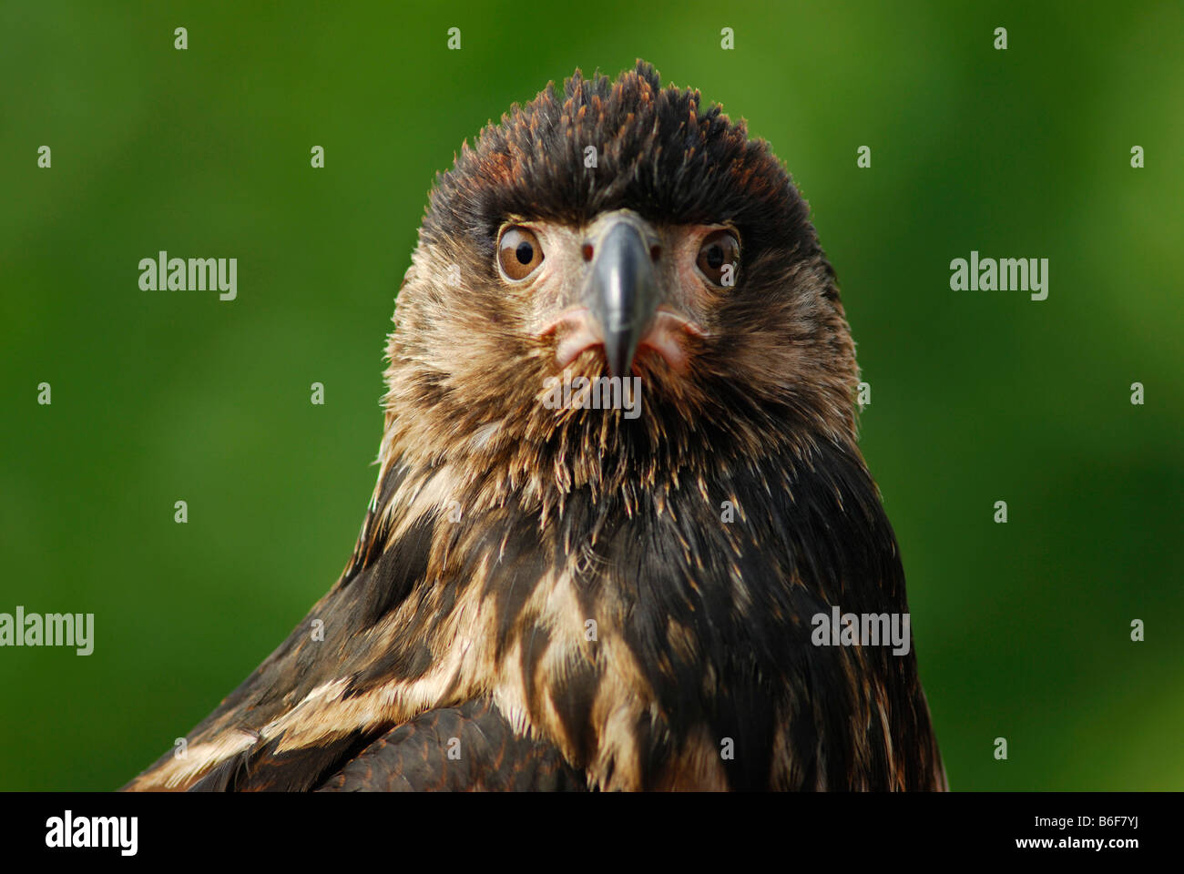 Adler (Aquila), portrait Stockbild