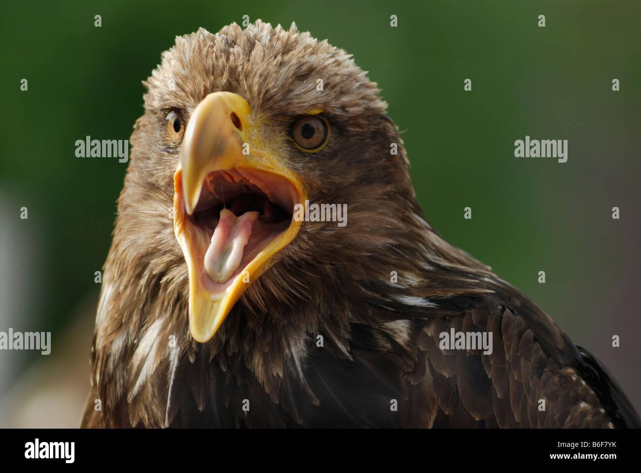 Adler (Aquila) mit offenen Schnabel, Porträt Stockbild