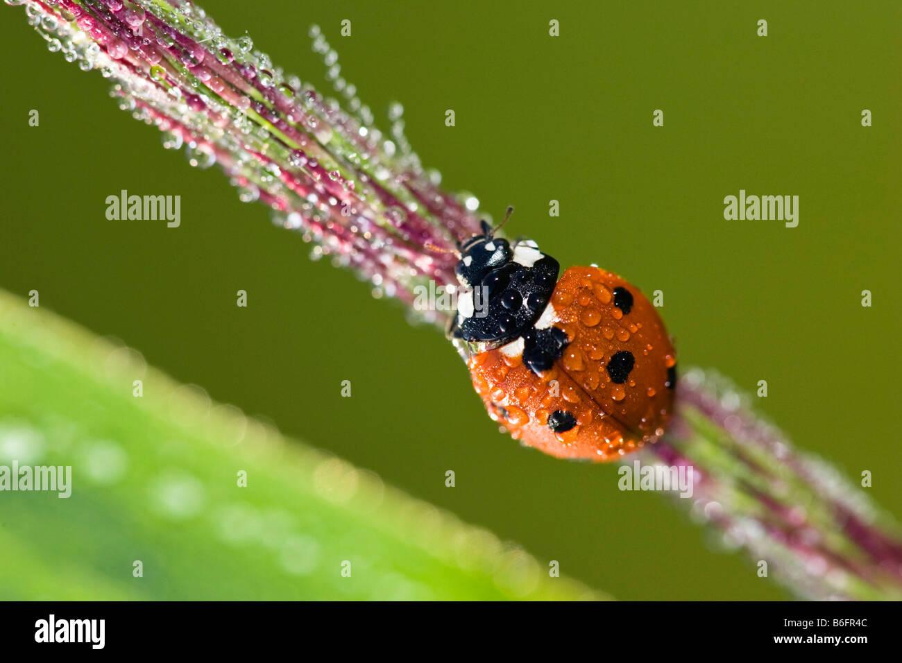 Sieben-Punkt-Marienkäfer (Coccinella Septempunctata) mit Tau fällt, Bayern, Deutschland, Europa Stockbild