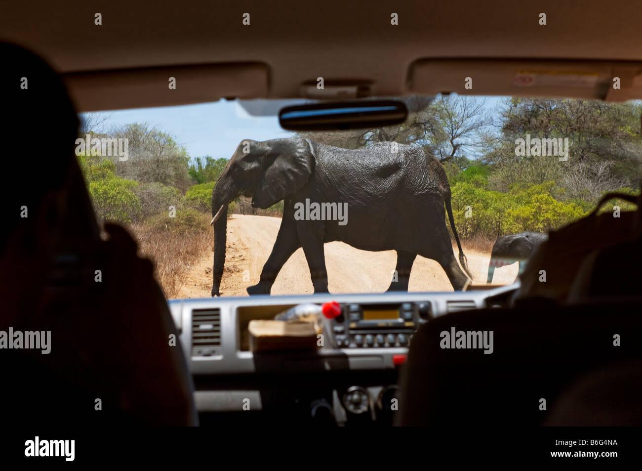 Elefant überqueren Pirschfahrt SAFARI im Krüger KRÜGER NP Nationalpark Auto Fahrzeug Jeep Bus Kleinbus Stockbild