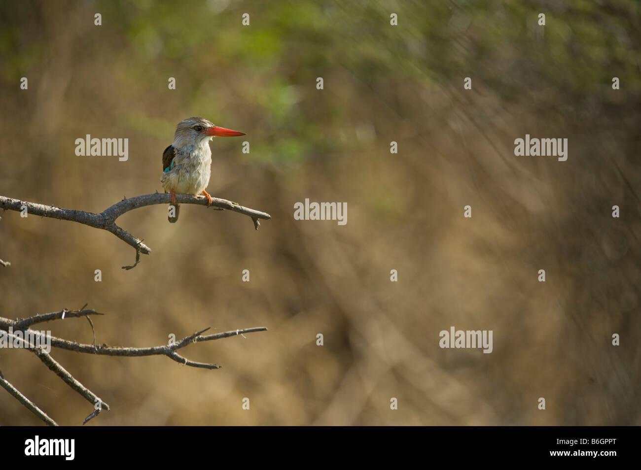 Braun mit Kapuze Kingfisher gehockt Zweig Baum wilde Tierwelt Südafrikas sitzend auf AST Himmel einfarbigen Stockbild