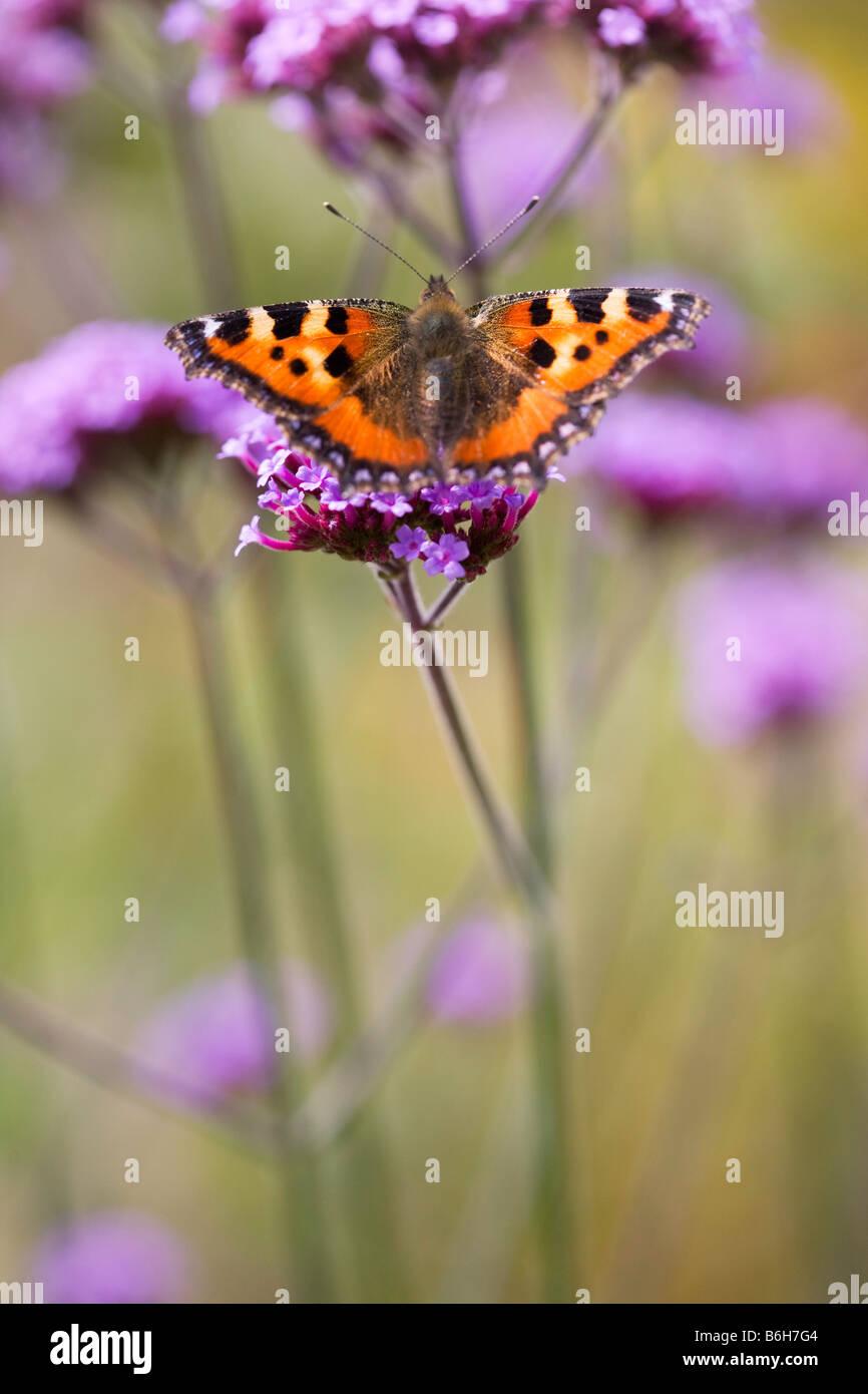 Kleine Schildpatt Schmetterling auf Eisenkraut Stockbild