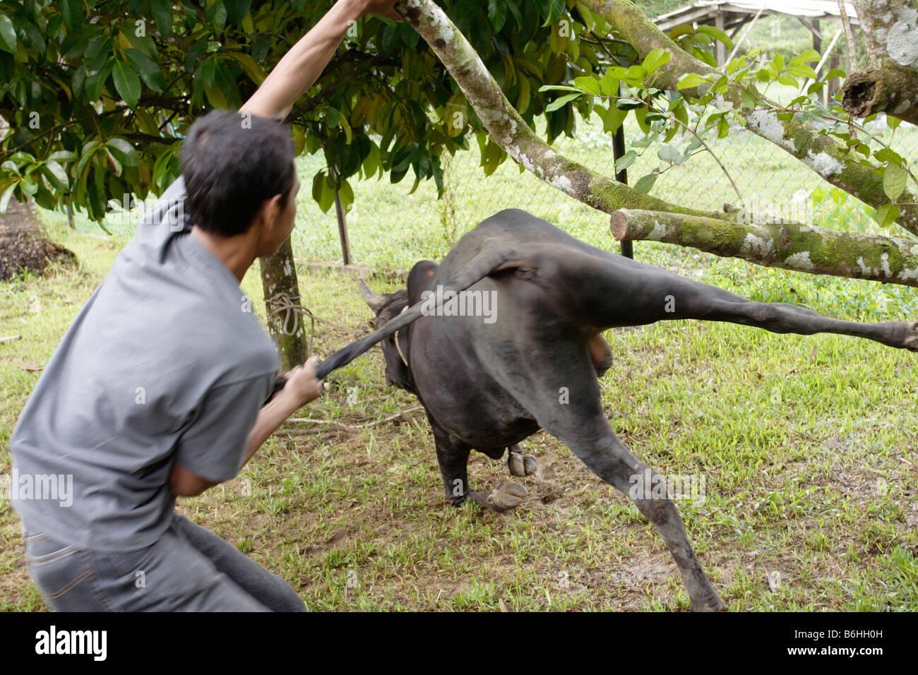 Eine Kuh zum Schlachten in Malaysia herunterziehen. Stockbild