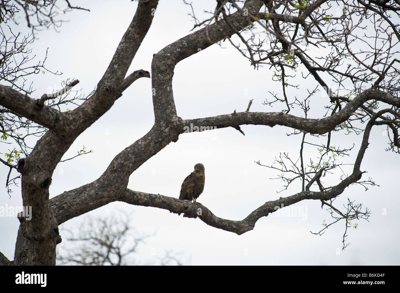 Braune Schlange-Adler Schlange Adler sitzend auf AST Baum Südafrika Krüger Krüger NP Nationalpark Stockbild