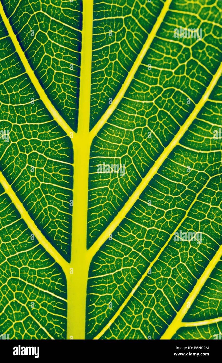 Struktur eines gesunden Blattes Stockbild