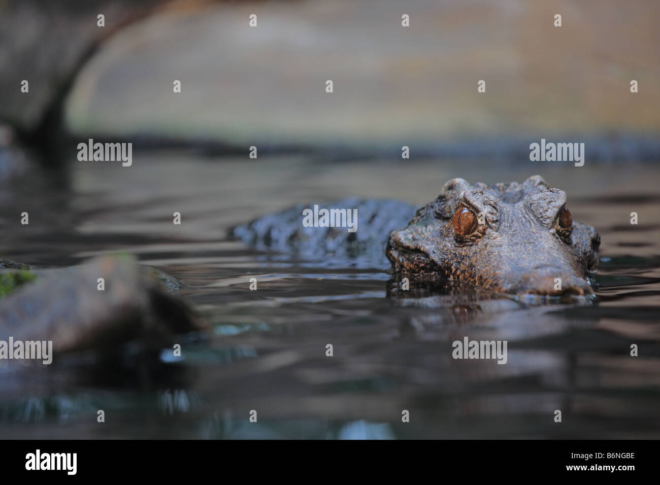 Alligator Stockbild