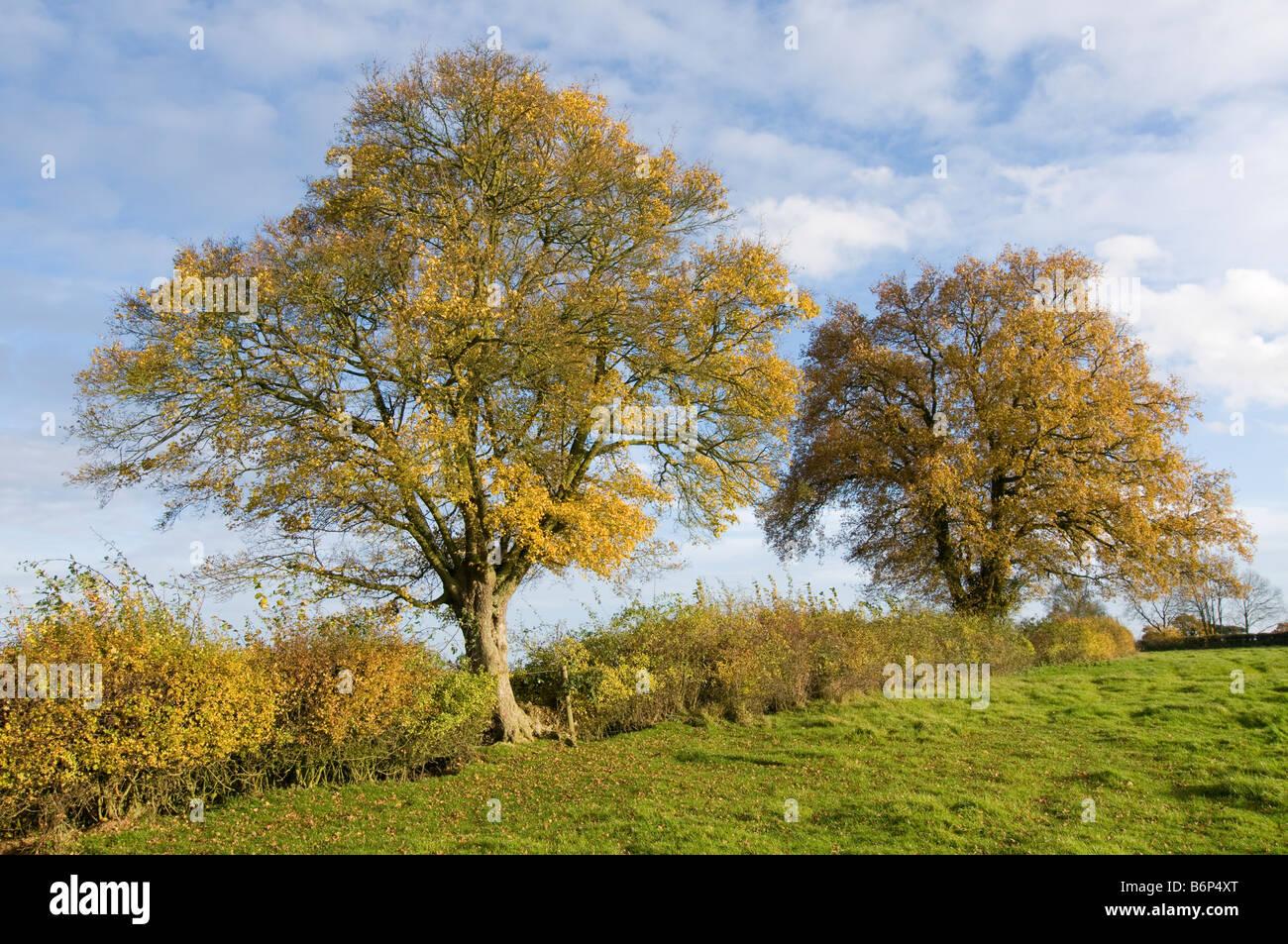 Herbstliche Feld Ahorn Acer Campestre mit englischer Eiche Quercus