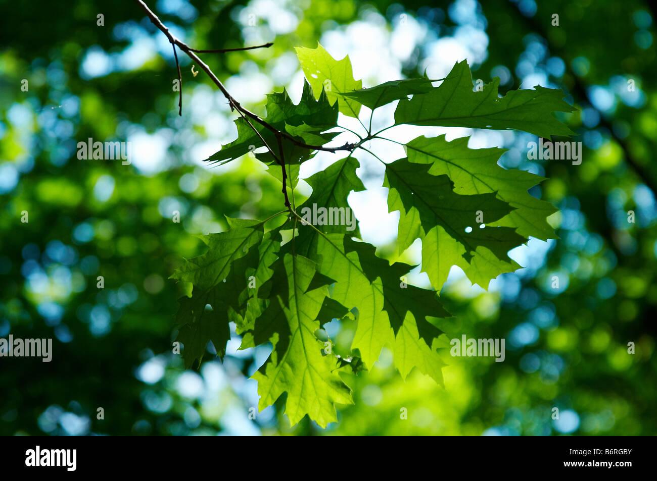 grüne Blätter von Ahorn am blauen Himmelshintergrund Stockbild