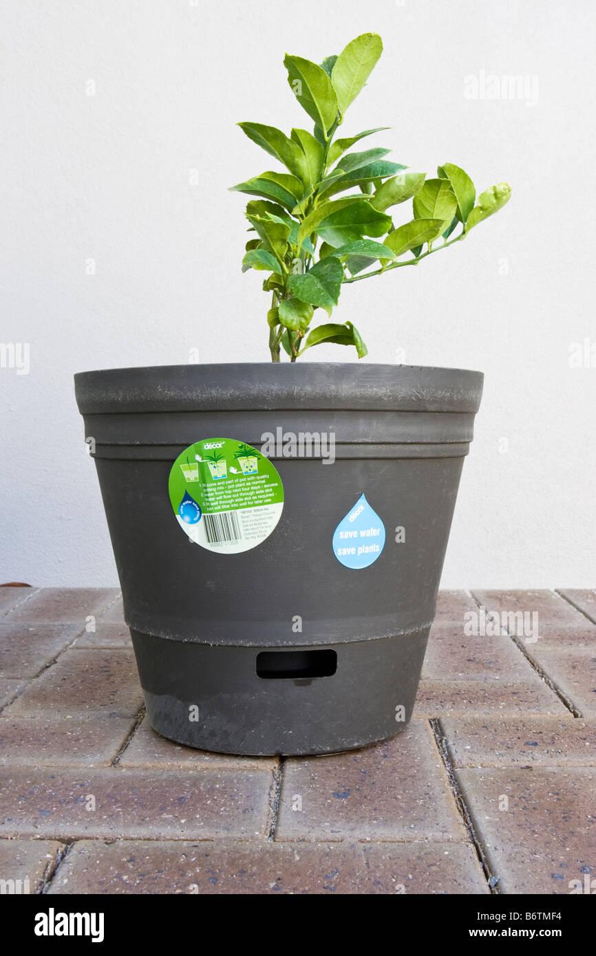 eine zitronenbaum wächst in einem blumentopf bewässerung selbst