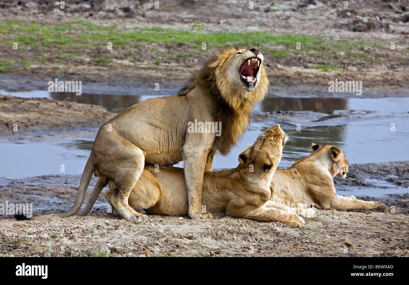 Tansania, Katavi-Nationalpark. Ein Löwenjunges hält ein wachsames Auge beim Ausruhen in der Nähe Stockbild