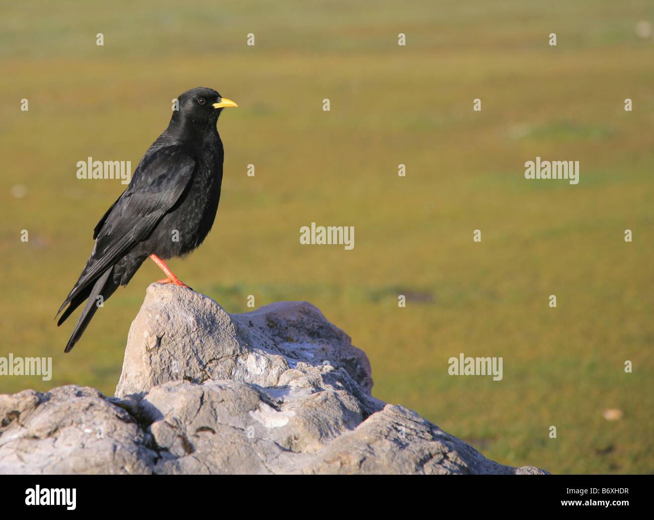 Alpine Alpenkrähe, Pyrrhocorax pyrrhocorax Stockbild