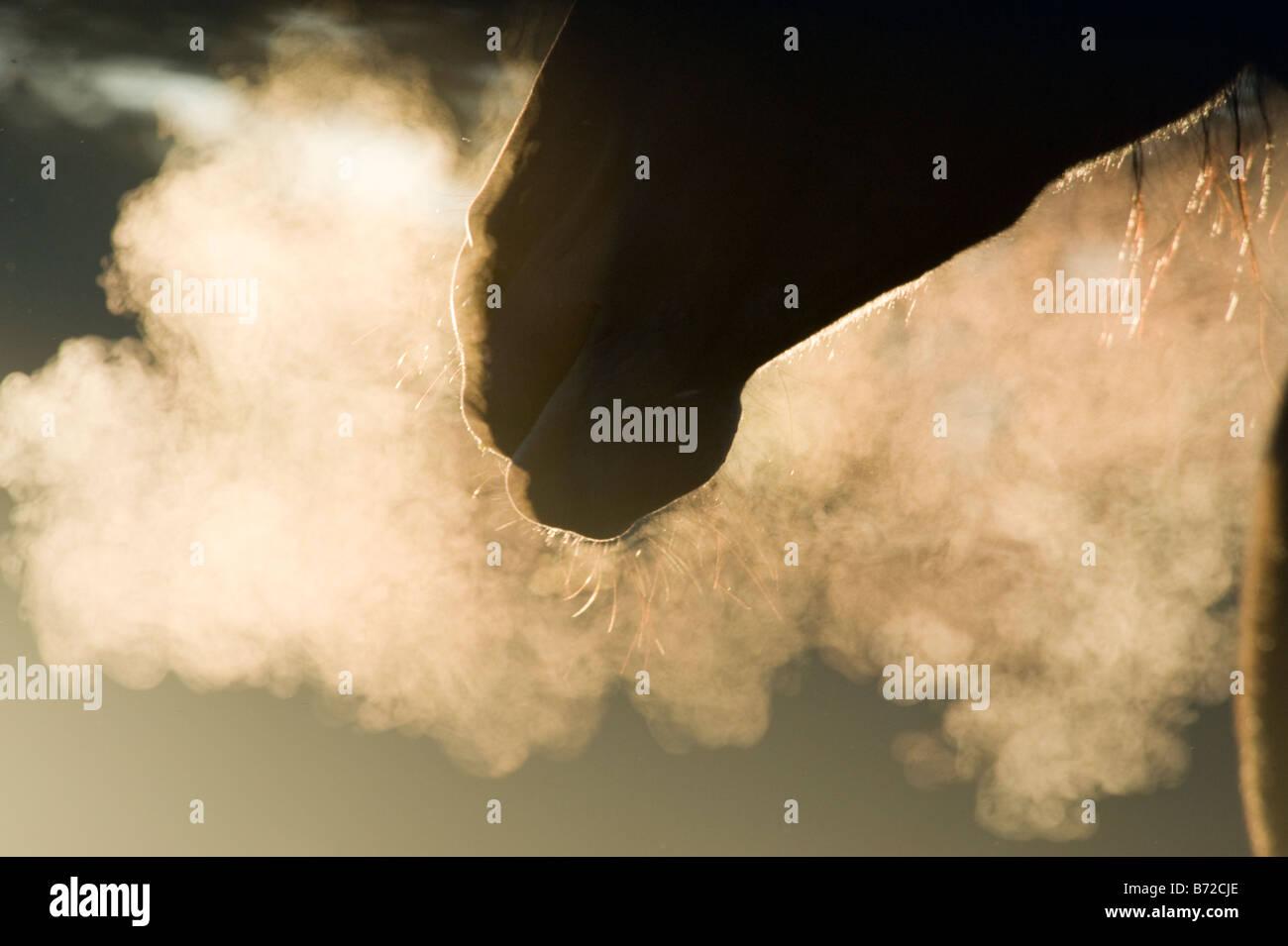Atem-Dampf von Mare im frühen Morgenlicht Stockbild