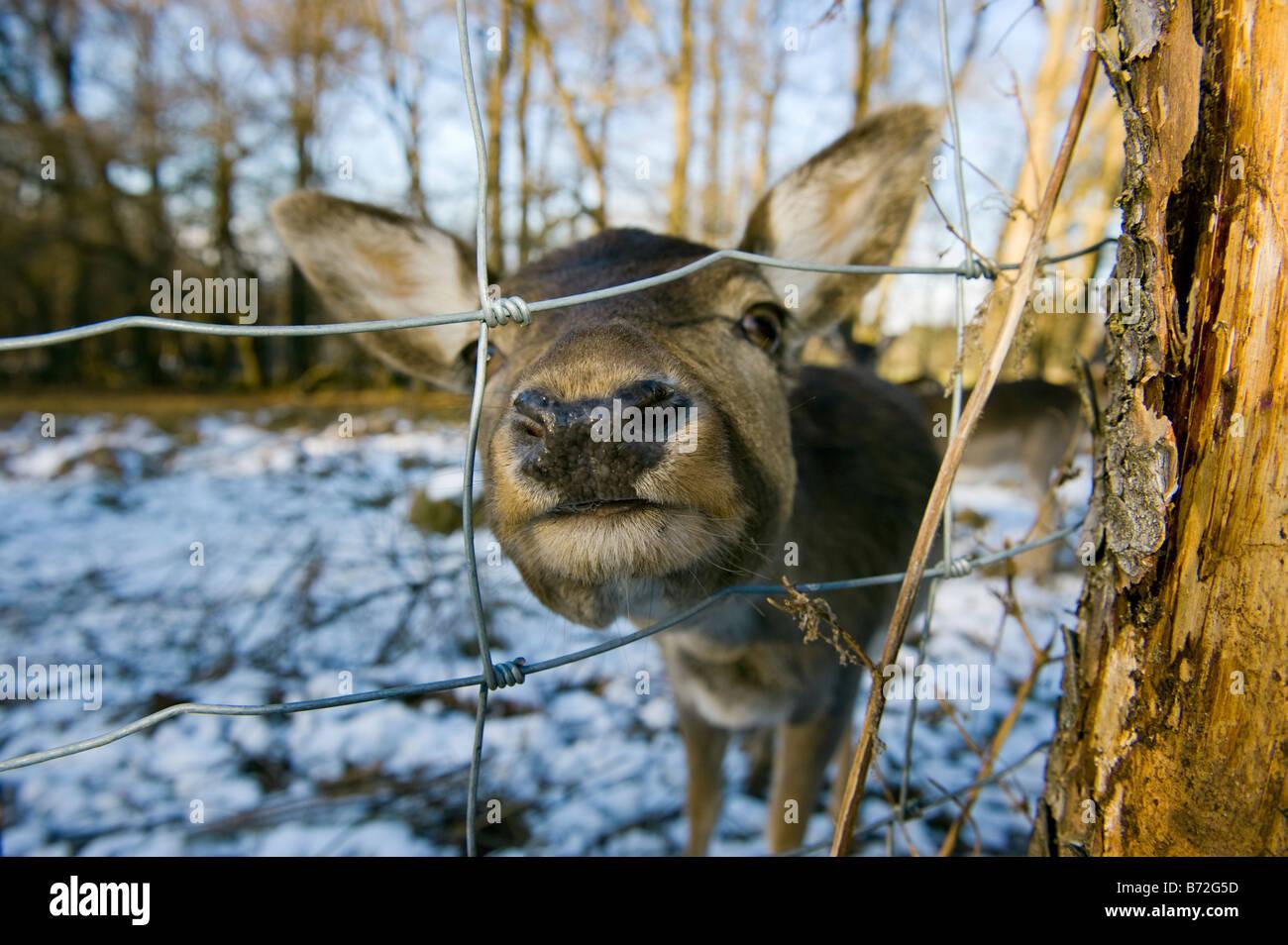 Damhirsch DAMA DAMA Reh Reh winter Winter Schnee kaltes Gesicht Nase Auge Rothirsch Cervus Nippon Elaphus OVIS AMMON Stockbild