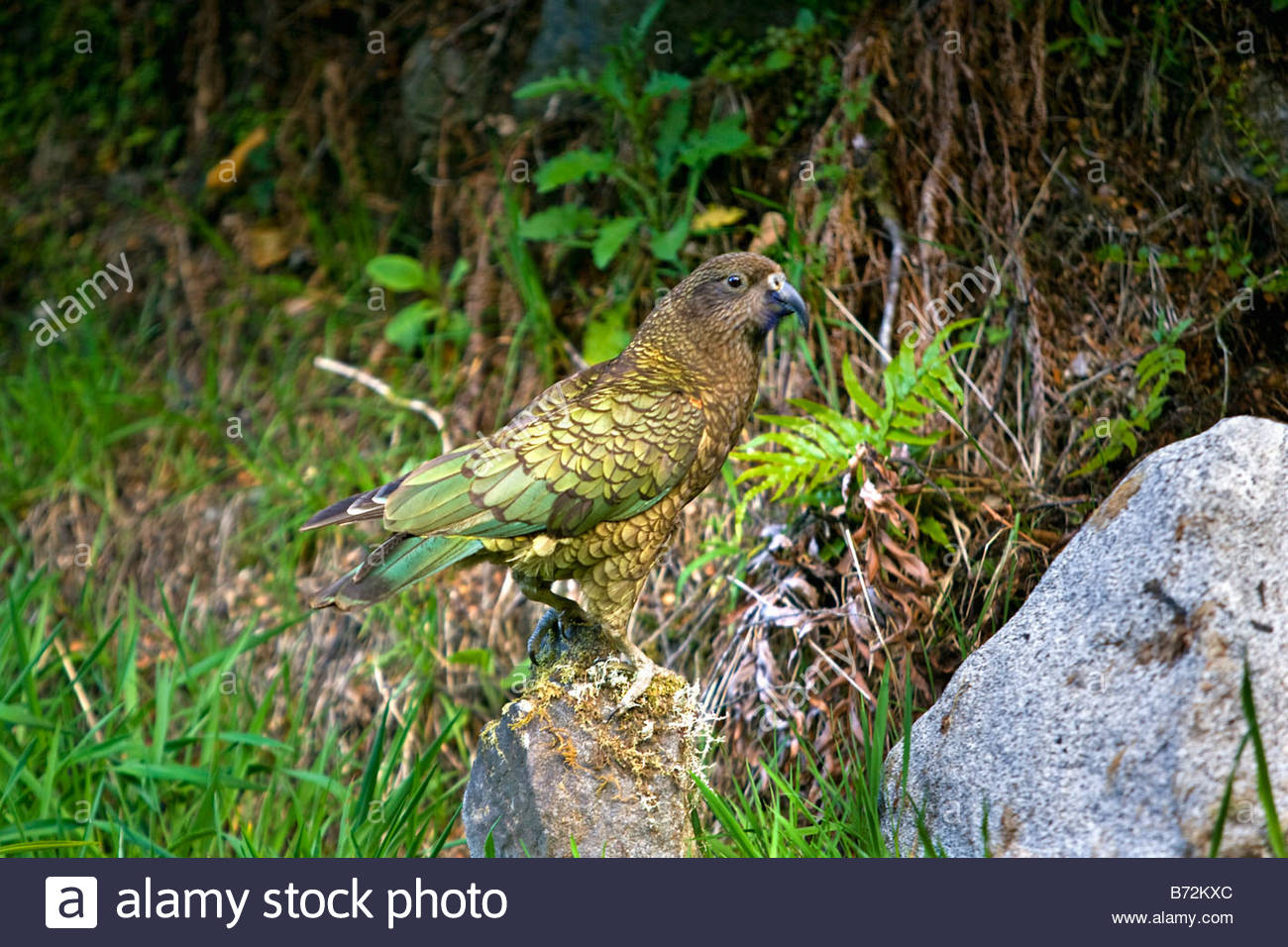 Neuseeland, Südinsel, Queenstown, Vogel der KEA, Nestor Notabilis. Stockbild
