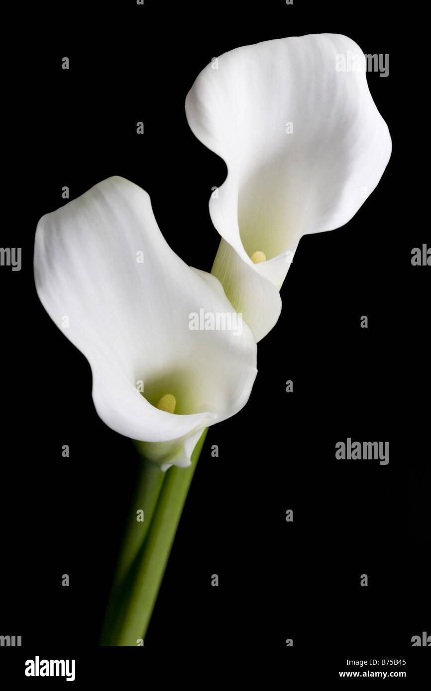 Zwei weiße Calla Lilie Blumen Stockbild