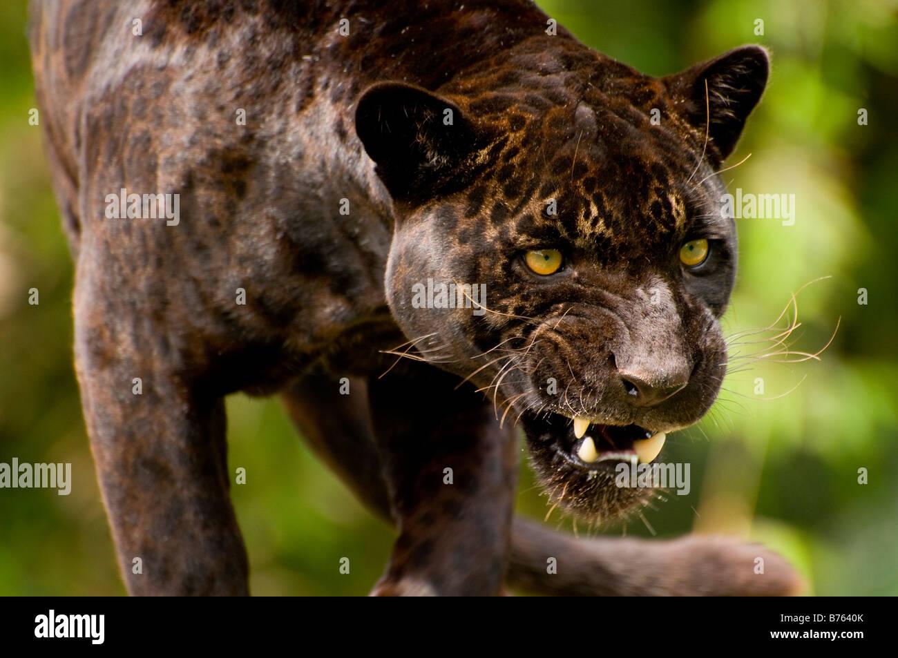 Panther oder schwarzer Jaguar Panthera onca Stockbild