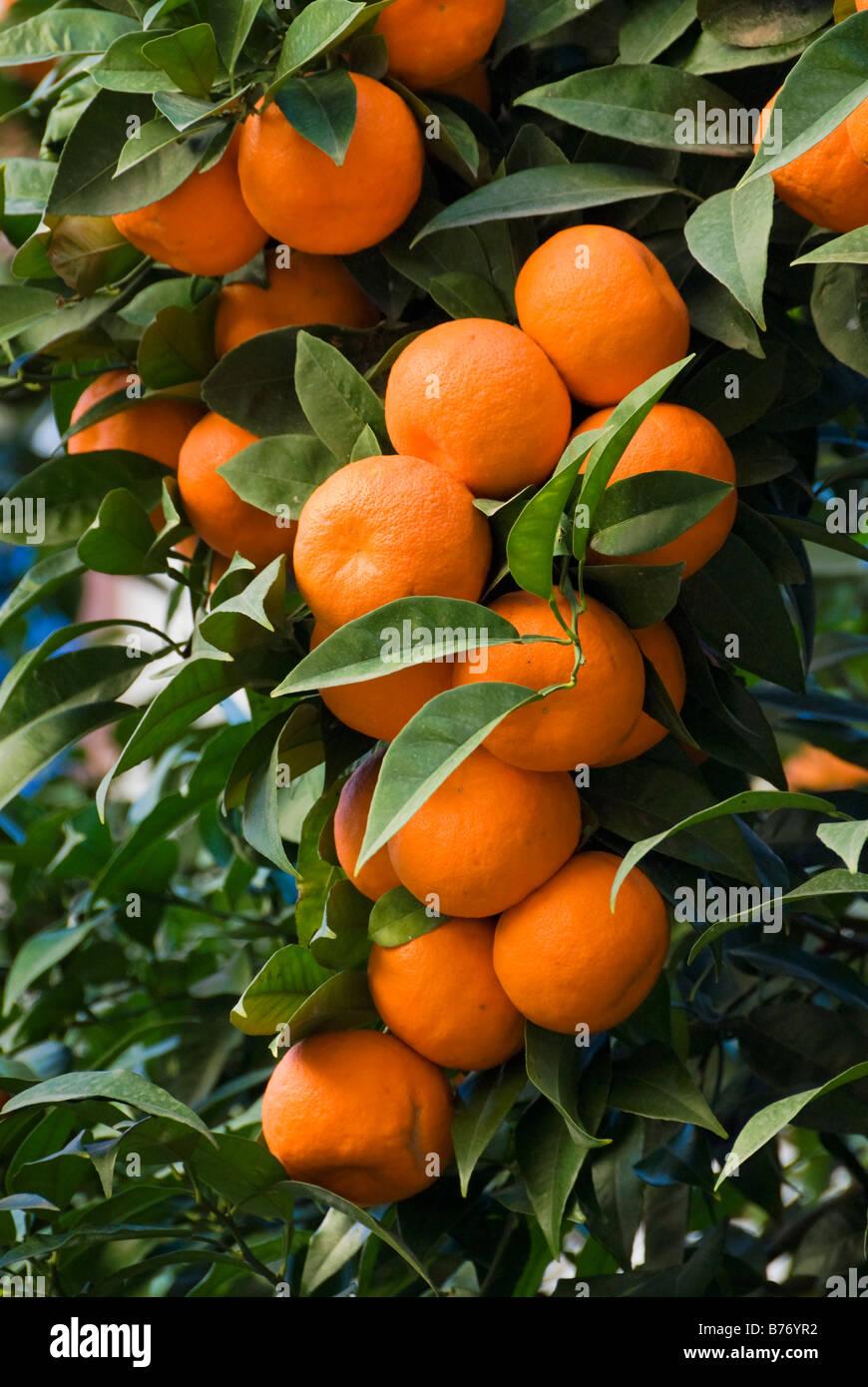 Orangenbaum in der Stadt von Valencia Spanien Stockbild