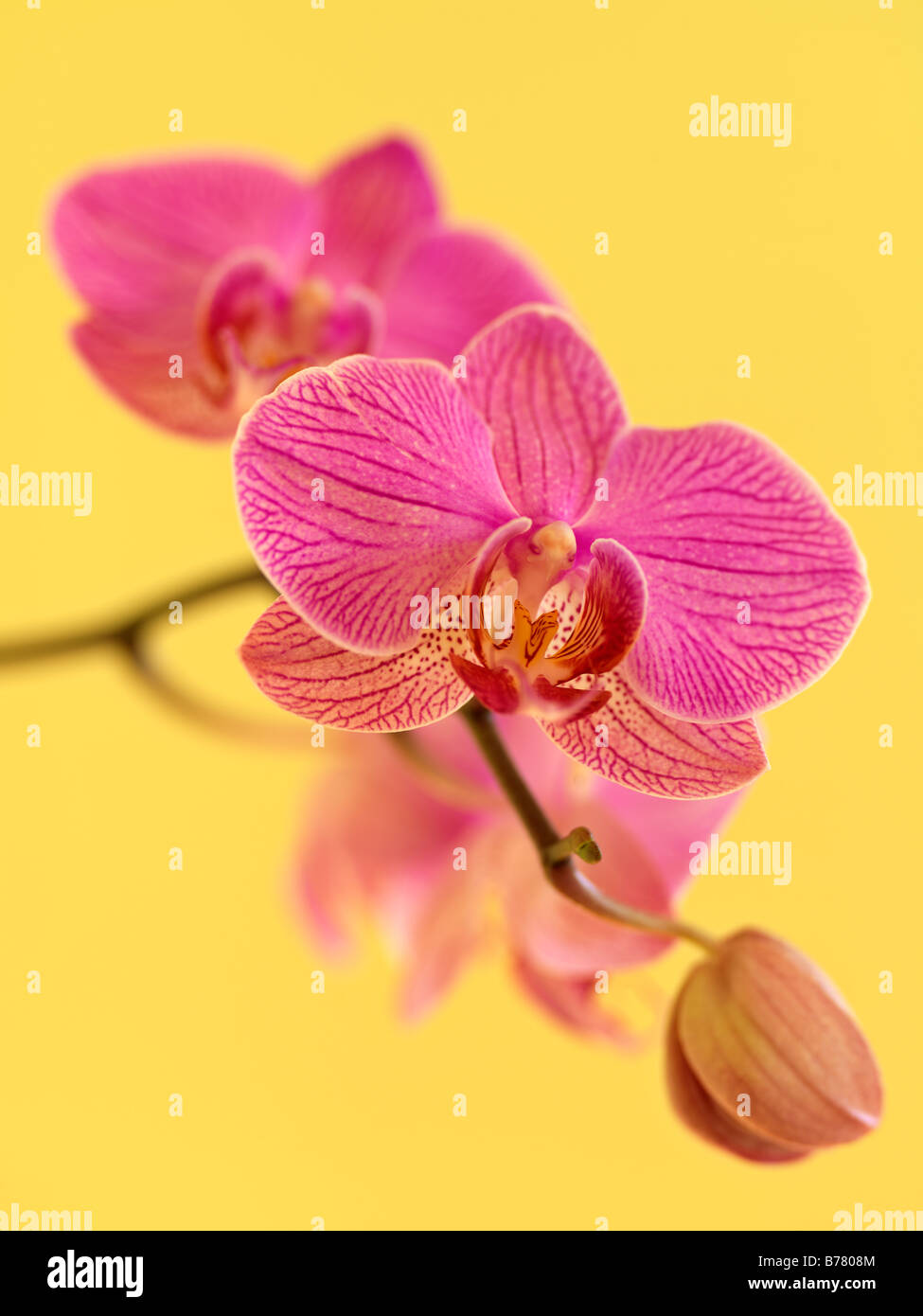 Phalaenopsis Orchidee Stockbild