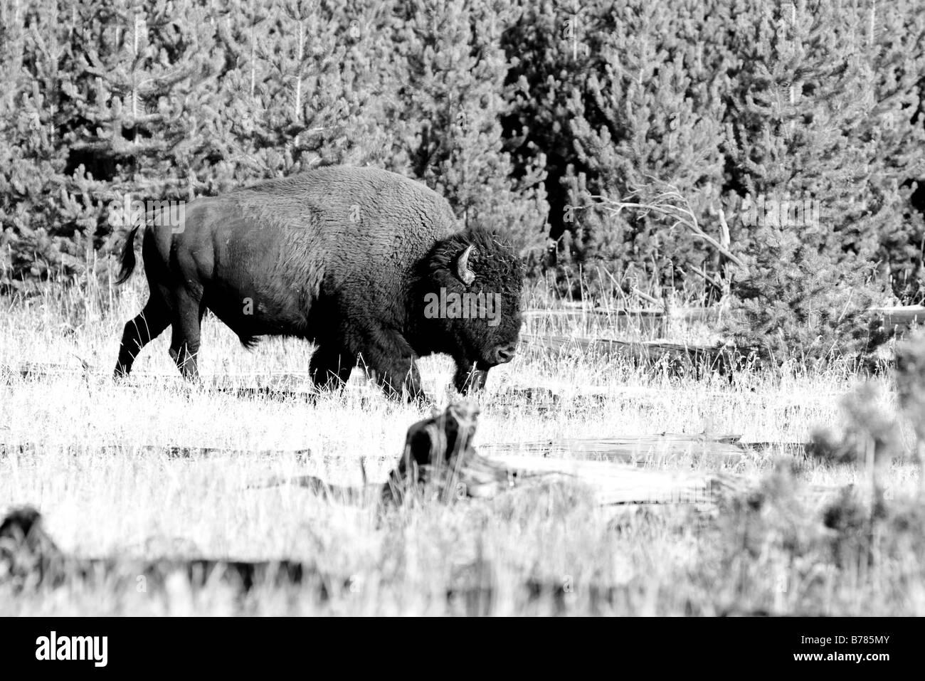 Amerikanische Bisons unterwegs im Nationalpark Yelowstone schwarz weiß  Stockbild 38d6bd4a8a