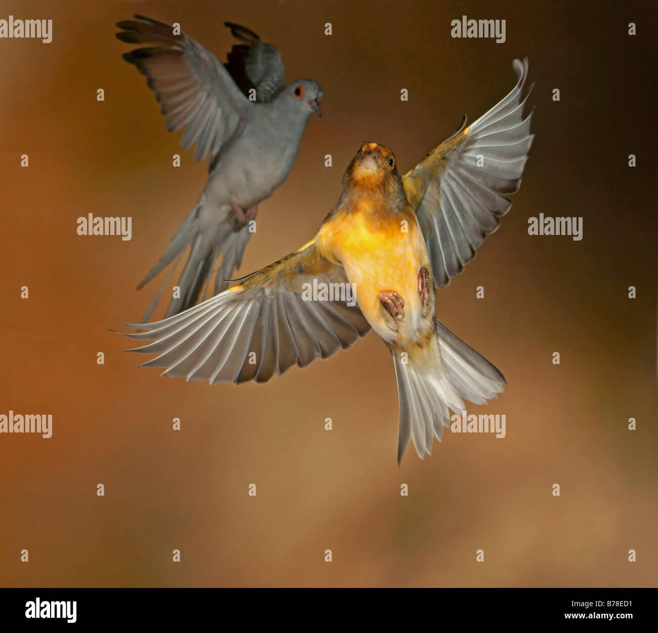 Inländische Kanarienvogel (Serinus Canaria Forma Domestica) und Diamond Dove (Geopelia Cuneata) Stockbild