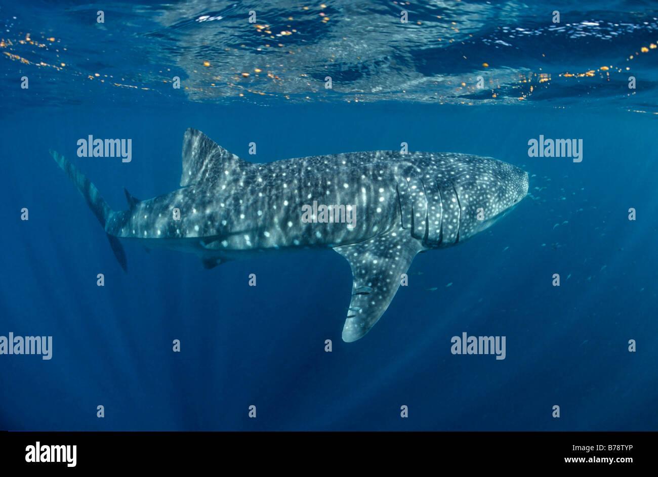 Whale Shark (Rhincodon Typus) Schwimmen unter der Oberfläche des Meeres, Ari Atoll, Malediven, Indischer Ozean, Stockbild