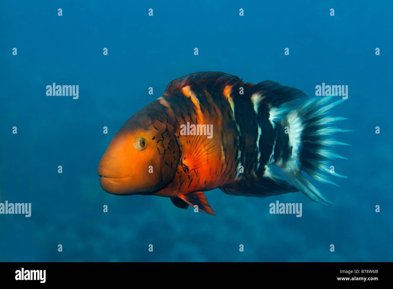 Red-Breasted Lippfisch (Cheilinus Fasciatus), Hurghada, Rotes Meer, Ägypten, Afrika Stockbild