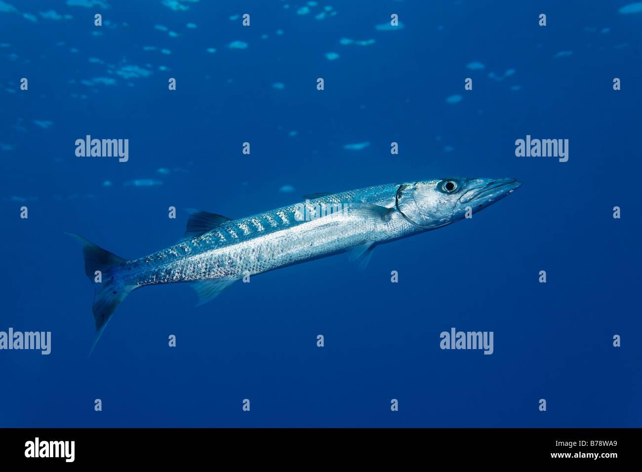 Blackfin Barracudas (größten Qenie) im blauen Wasser, Daedalus Riff, Hurghada, Rotes Meer, Ägypten, Stockbild