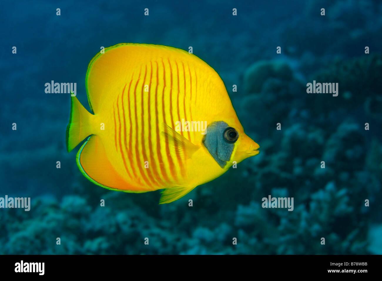 Bluecheek Butterflyfish (Chaetodontidae Semilarvatus) schwimmt über die Korallen Riff, Elphinstone Riff, Hurghada, Stockbild