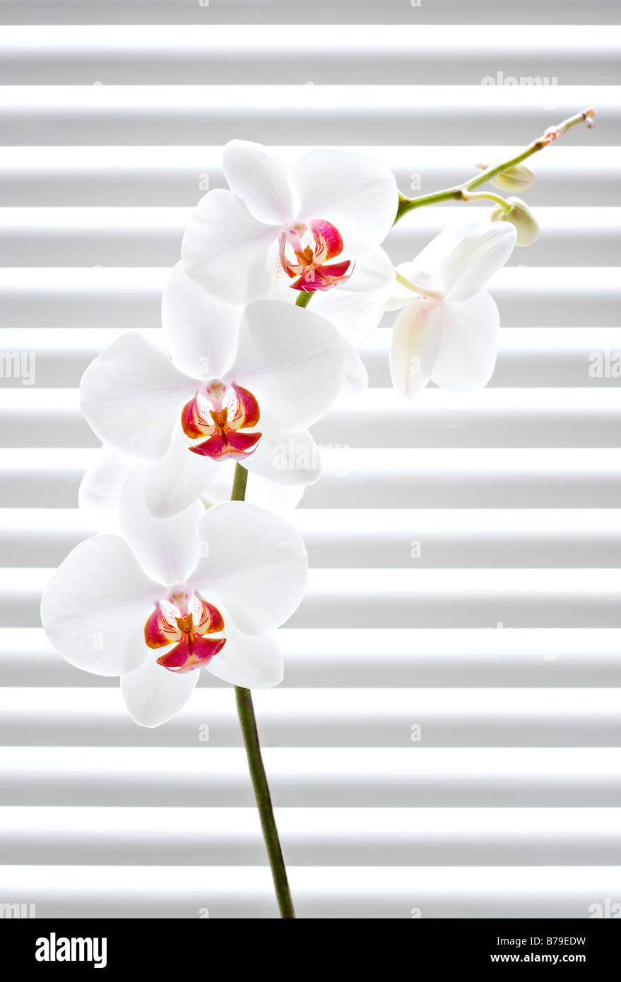 Phalaenopsis Orchideen vor Jalousien Stockbild