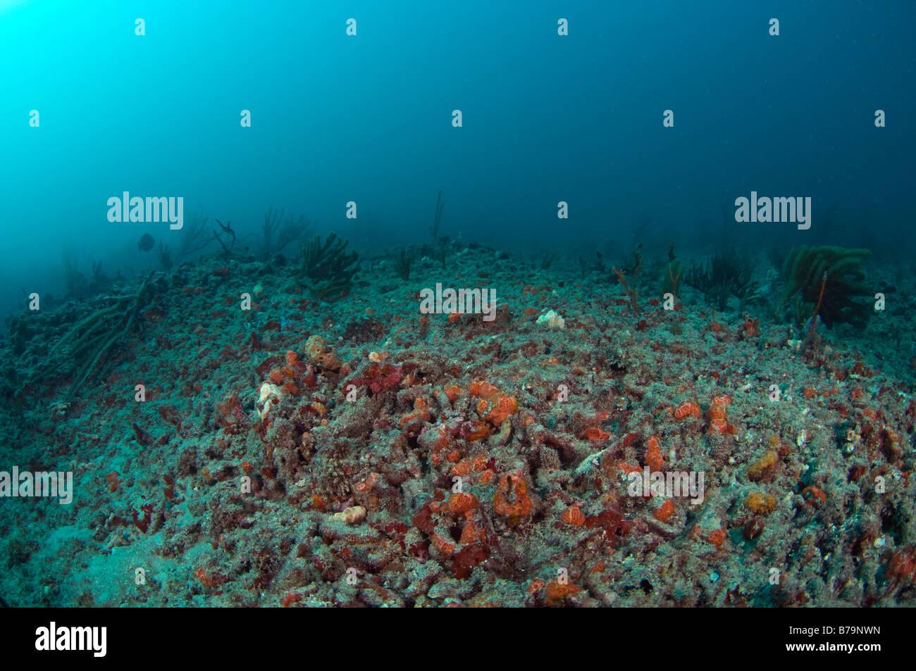 Coral Reef in Palm Beach FL erholt sich nach umfangreichen Hurrikanschäden in 2004 Stockbild