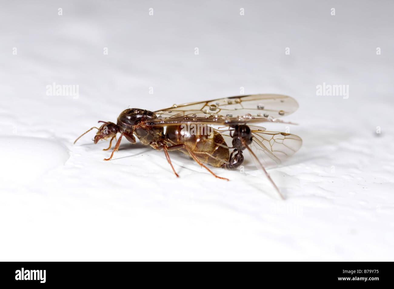 Männliche und weibliche geflügelte Ameisen Stockbild