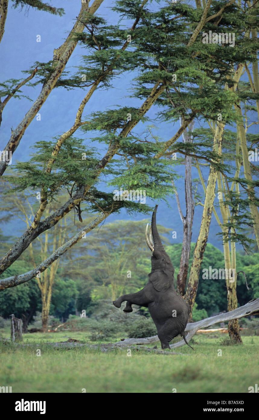 Elefant, balancieren auf Hinterbeinen, die nahrhafte Zweige einer Akazie, Ngorongoro Crater zu erreichen Stockfoto