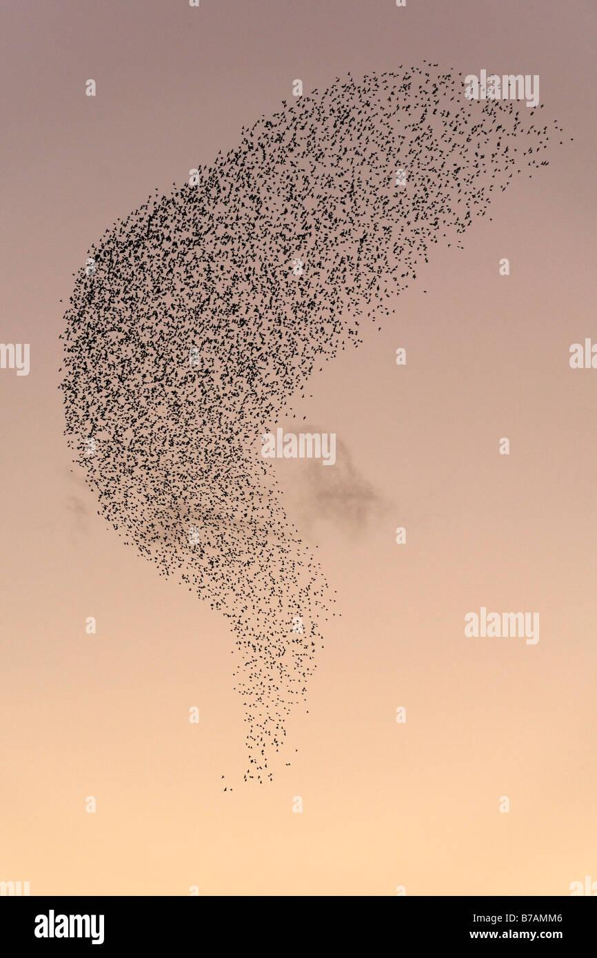 Herde der Europäischen Stare, gemeinsame Stare (Sturnus Vulgaris) Stockbild
