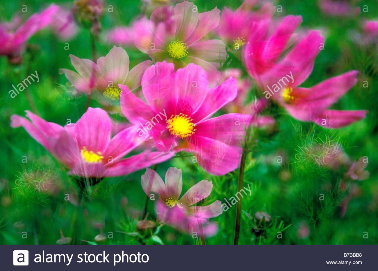 Cosmos Bipinnatus Multi-Exposure Stockfoto