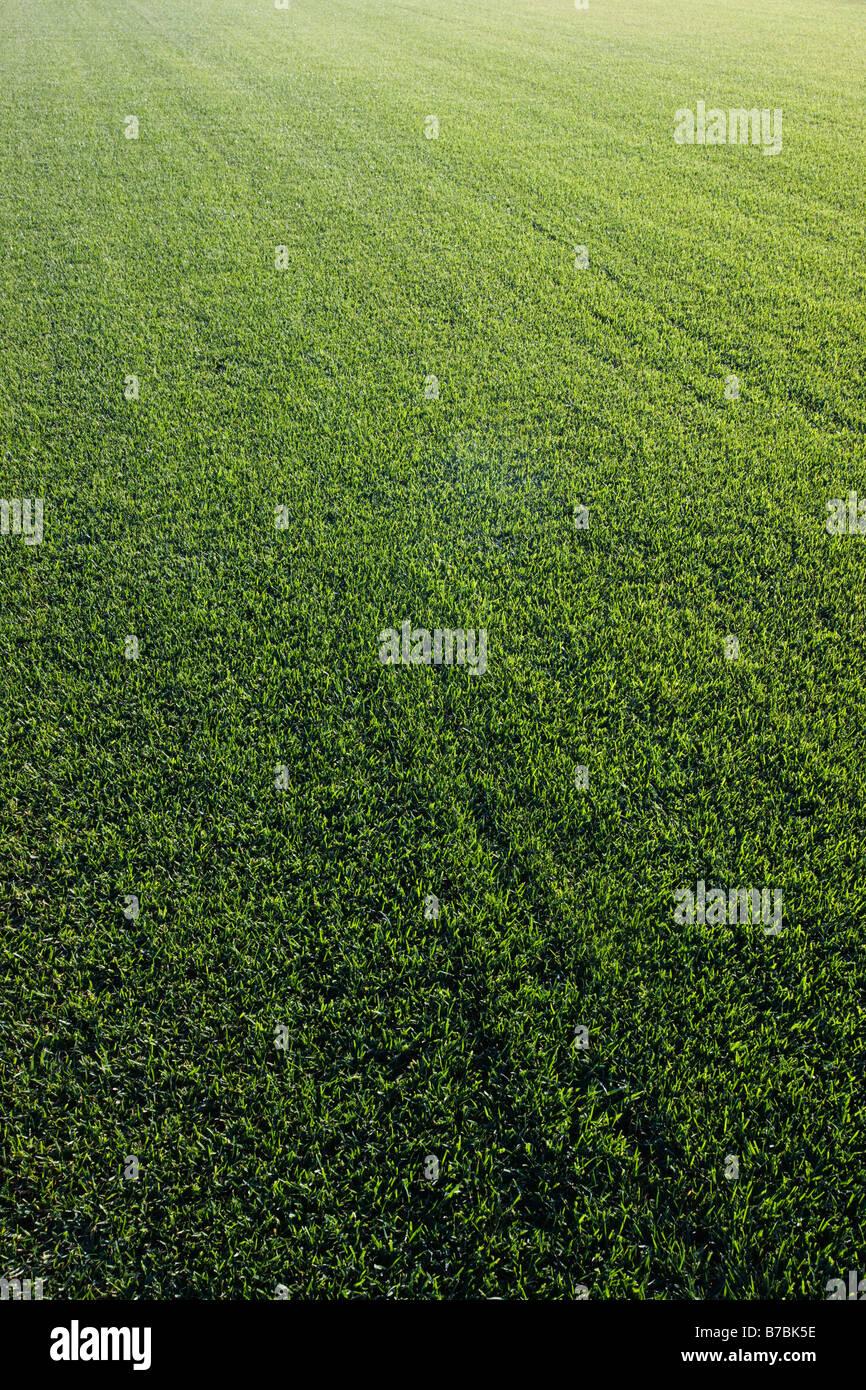 Reichen grünen Rasen wächst auf einem Sod-Bauernhof in Süd-Kalifornien, USA Stockbild