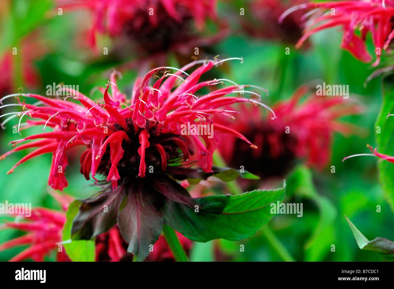 monarda feuerball bergamotte rote blume garten pflanze. Black Bedroom Furniture Sets. Home Design Ideas