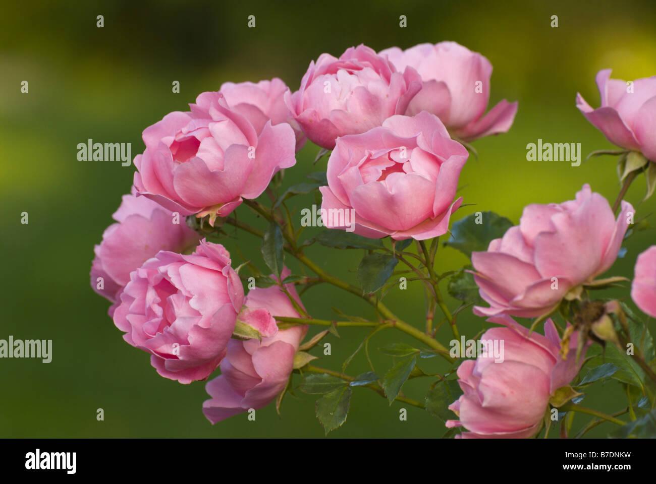 schlager zweibrücken rosengarten